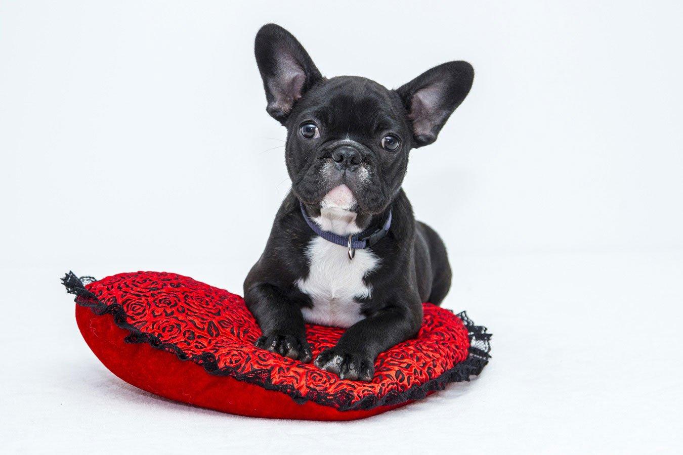 Bulldog francês: uma raça de origem inglesa
